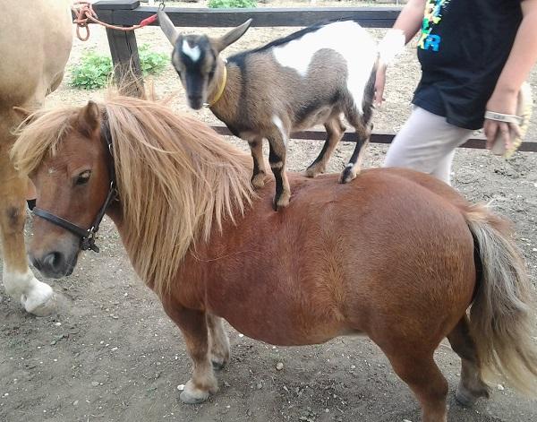Capretta su pony